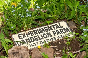 dandelion_farm